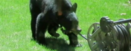 Woman clubs attacking bear with shotgun