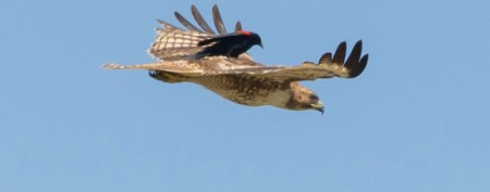Stunning battle between blackbird and hawk