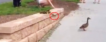Stranded ducklings take a scary leap of faith