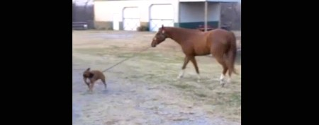 Helpful pooch takes horse for a walk