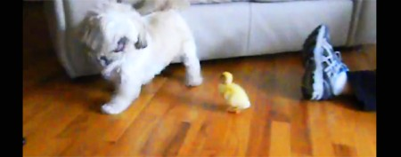 Adorable baby duck terrifies dog