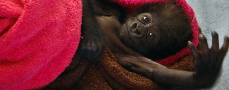 Rejected baby gorilla meets her new mom