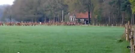 Massive deer herd takes turns jumping, until...
