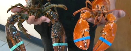 Stunning lobster discovery defies all odds