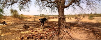 Animals, victims of a cruel drought
