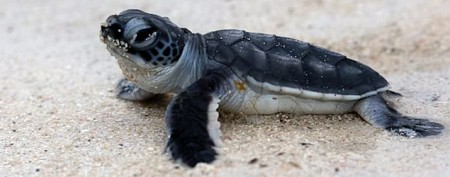 Mystery ailment hits Florida's sea turtles