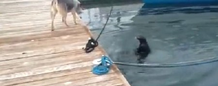 Funny otter makes a fool of eager dog