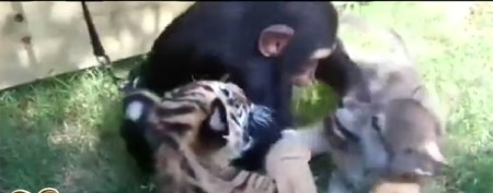 A chimp and a wolf and two tigers, oh my!