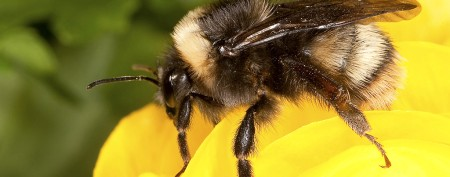 Return of bumblebee causes buzz