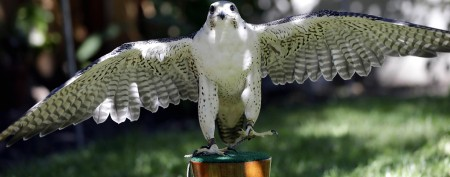 Feds ban rescue of Bay Area falcon chicks