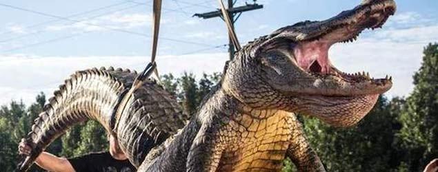 Marine helps catch state-record alligator. (Jesse Phillips)