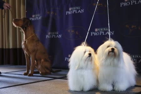 New breed entries in the 139th Annual Westminster Kennel Club Dog Show Chanel and Burberry, Cotons de Tulear breeds, stand while Falko, a Wirehaired Vizla, stands with its owner during a press conference in New York January 21, 2015. REUTERS/Shannon Stapleton
