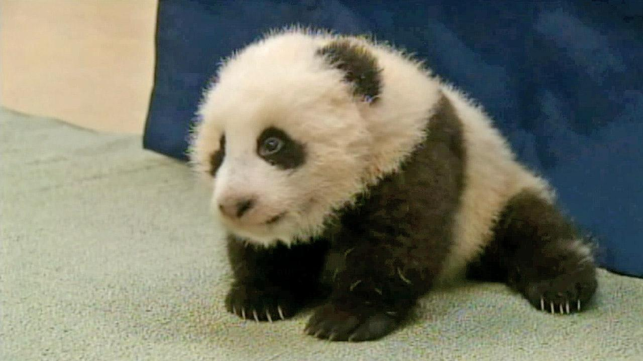 <p>It's official. The baby panda at the San Diego Zoo was named Xiao Liwu, which means 'little gift' in English.</p>