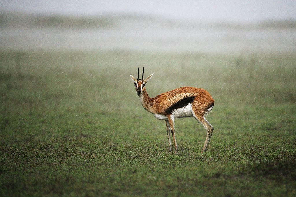 A Thompson's Gazelle stands under a downpour in the Masai Mara Game Reserve, Kenya.