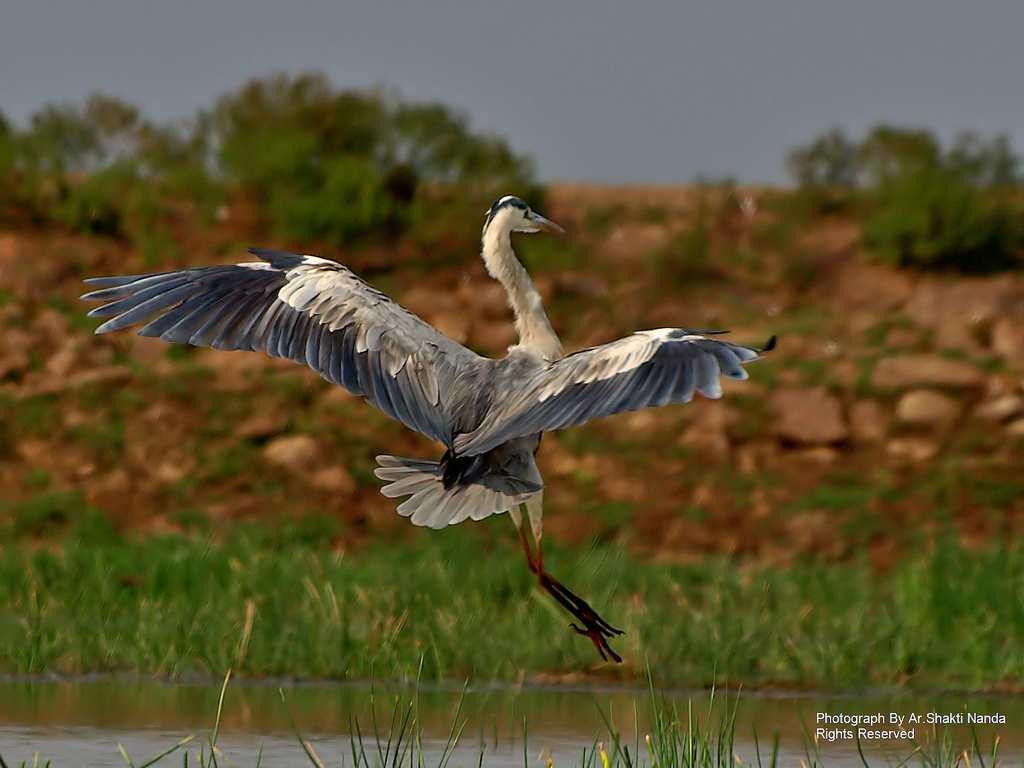 A <strong>Grey Heron</strong> (<em>Ardea cinerea</em>) is a resident wading bird that can be seen in Mangalajodi wetland, Odisha.