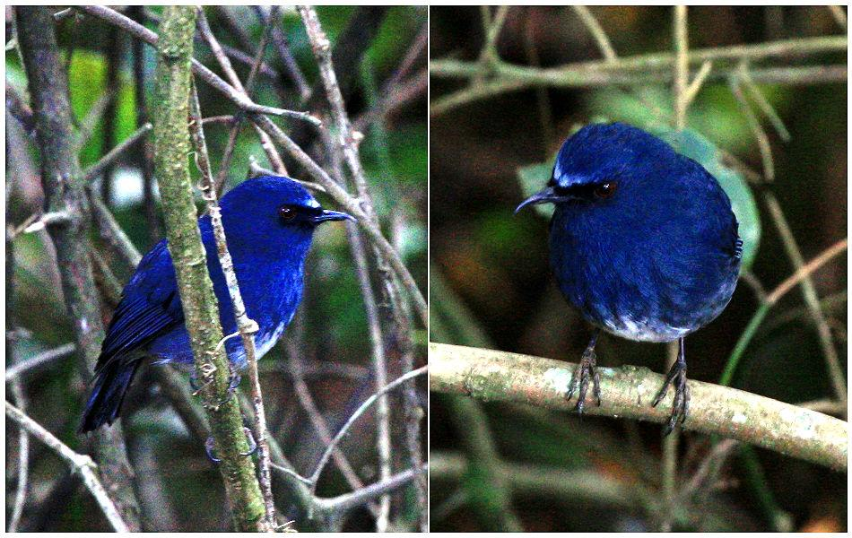 """<b>White-bellied Shortwing:</b> A rare endemic of the Western Ghats, this sparrow-sized bird (with long legs for hopping) mostly forages on the ground for worms and grubs. """"Endemic"""" refers to a species found in one geographic region and nowhere else."""