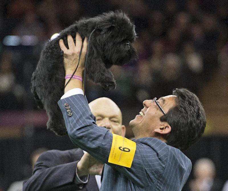 Wire fox terrier wins best in show at Westminster