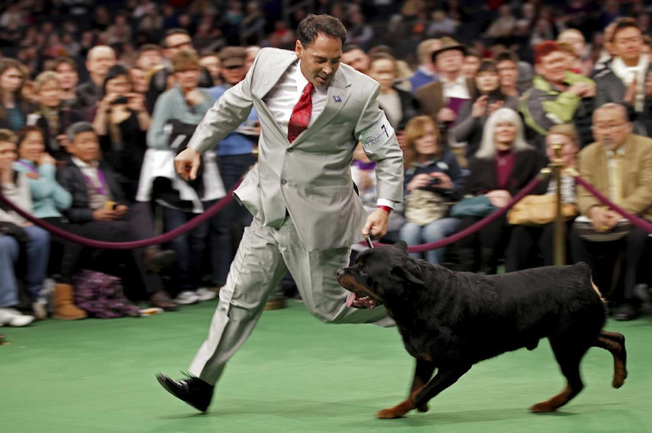FILE- In this Feb. 14, 2012 file photo, Perry Payson, of Bixby, Okla., handles Pilot, a Rottweiler during at the 136th annual Westminster Kennel Club dog show in New York. Rottweilers own the No. 8 most popular breed spot of 2016 according to the American Kennel Club. (AP Photo/Craig Ruttle, File)