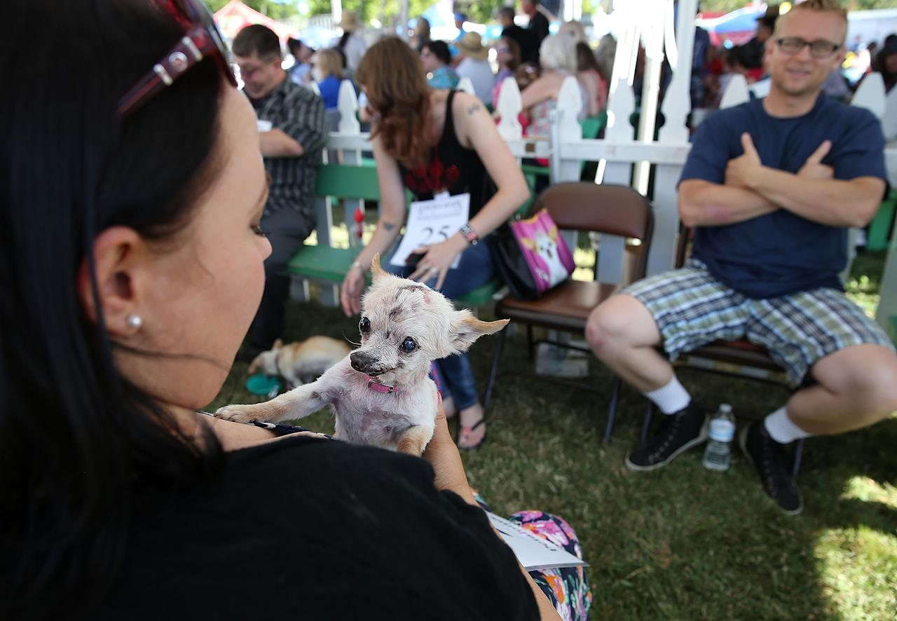 PETALUMA, CA - JUNE 21: Prescila Wilkins holds her dog Sophie, a Chihuahua mix before the start of the 25th annual World's Ugliest Dog contest at the Sonoma Marin Fair on June 21, 2013 in Petaluma, California. Dogs from all over the country are competing for the honor of being the world's ugliest dog. (Photo by Justin Sullivan/Getty Images)