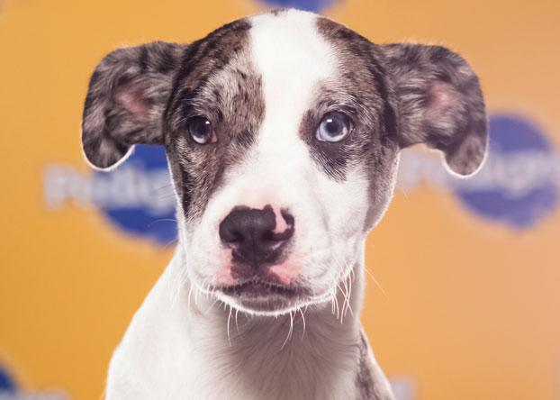 Koda, a 4-month-old Catahoula/Boston terrier mix, was voted cutest puppy in Howl's Kitchen in Manhattan, and is an expert at riding the subway. (Photo by Keith Barraclough/DCL)