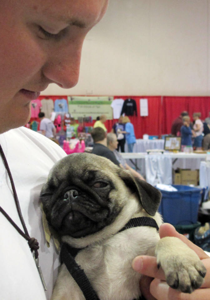 In this May 19, 2013, photo Jeremy Donnell, 23, holds a sleepy 12-week old pug puppy at Milwaukee Pug Fest in Franklin, Wis. The annual event, that helps pay for medical and dental bills for rescued pugs, attracted more than 1,700 pugs and other smushy-faced dogs along with 2,900 humans from the U.S. and Canada.  (AP Photo/Carrie Antlfinger)