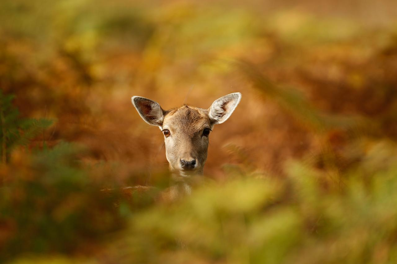 A young deer hides amongst the autumnal bracken at the National Trust's Dunham Massey park on October 17, 2012 in Knutsford, England. As summer draws to a close the cooler temperatures bring on the Autumn foliage colours.  (Photo by Christopher Furlong/Getty Images)