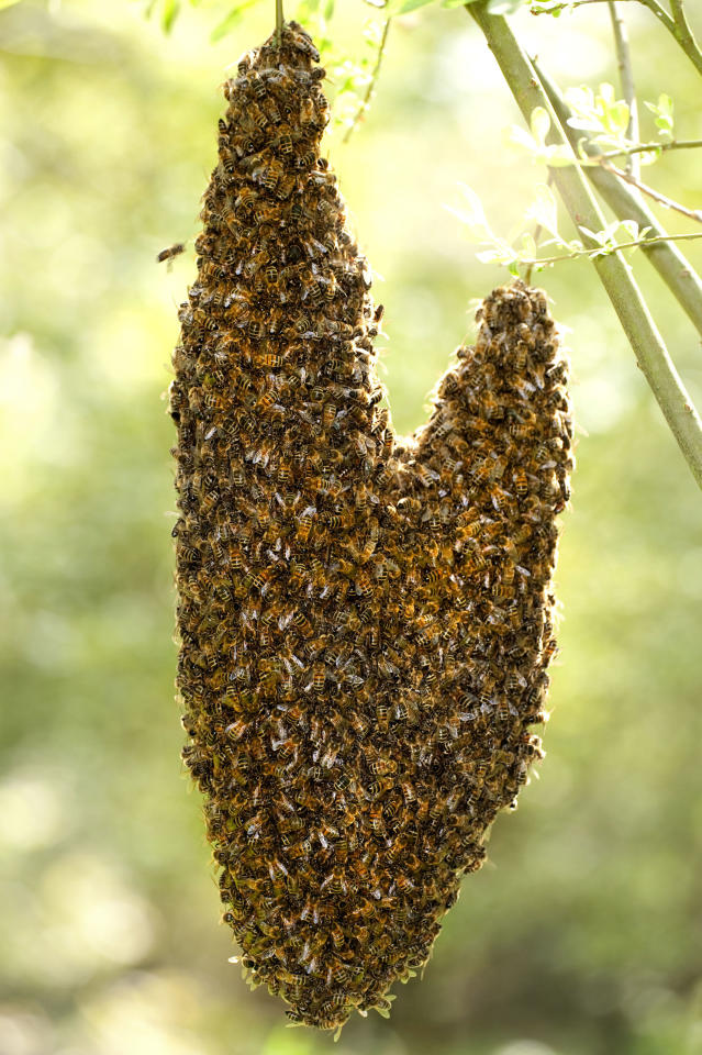 **MANDATORY BYLINE** PIC BY PAPILIO PHOTOS / CATERS NEWS - (PICTURED Honey Bees hanging from a tree branch creating a heart) With Valentines Day just around the corner its the time of year when love is in the air but as these pictures prove - its all over the earth too. These extraordinary images, taken by photographers across the globe, show Mother Nature is also gearing up to celebrate the big day with iconic heart shapes appearing all over the natural world. The charming pictures capture Mother Natures romantic side and feature several signs of love including an adorable fluffy penguin with a white heart emblazoned on its chest. Other natural displays include a flamingo creating a heart shape with its white and pink plumage and two swans which appear to kiss as they form a heart shape with their necks. SEE CATERS COPY