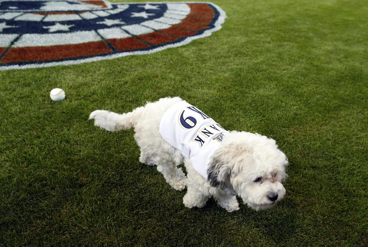 Hank, the unofficial mascot of the Milwaukee Brewers, walks on the field before the opening day baseball game between the Milwaukee Brewers and Atlanta Braves at Miller Park, Monday, March 31, 2014, in Milwaukee. (AP Photo/Jeffrey Phelps)