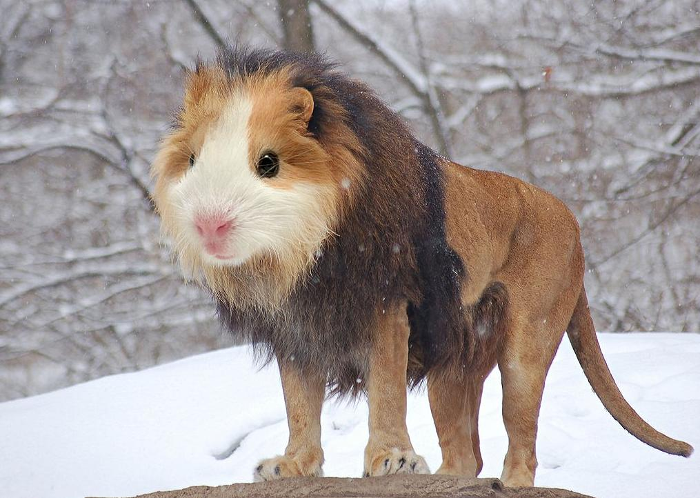 "The Guinea Lion. <a target=""_blank"" href=""http://i.imgur.com/Davdz1J.jpg"">Photo</a> created by <a href=""http://www.reddit.com/user/gyyp"">gyyp</a>."