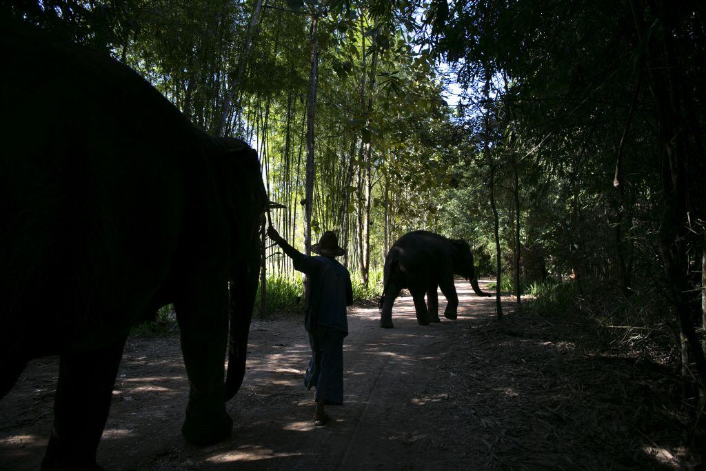 A mahout walks his elephant back into the jungle at an elephant camp at the Anantara Golden Triangle resort in Golden Triangle, northern Thailand.