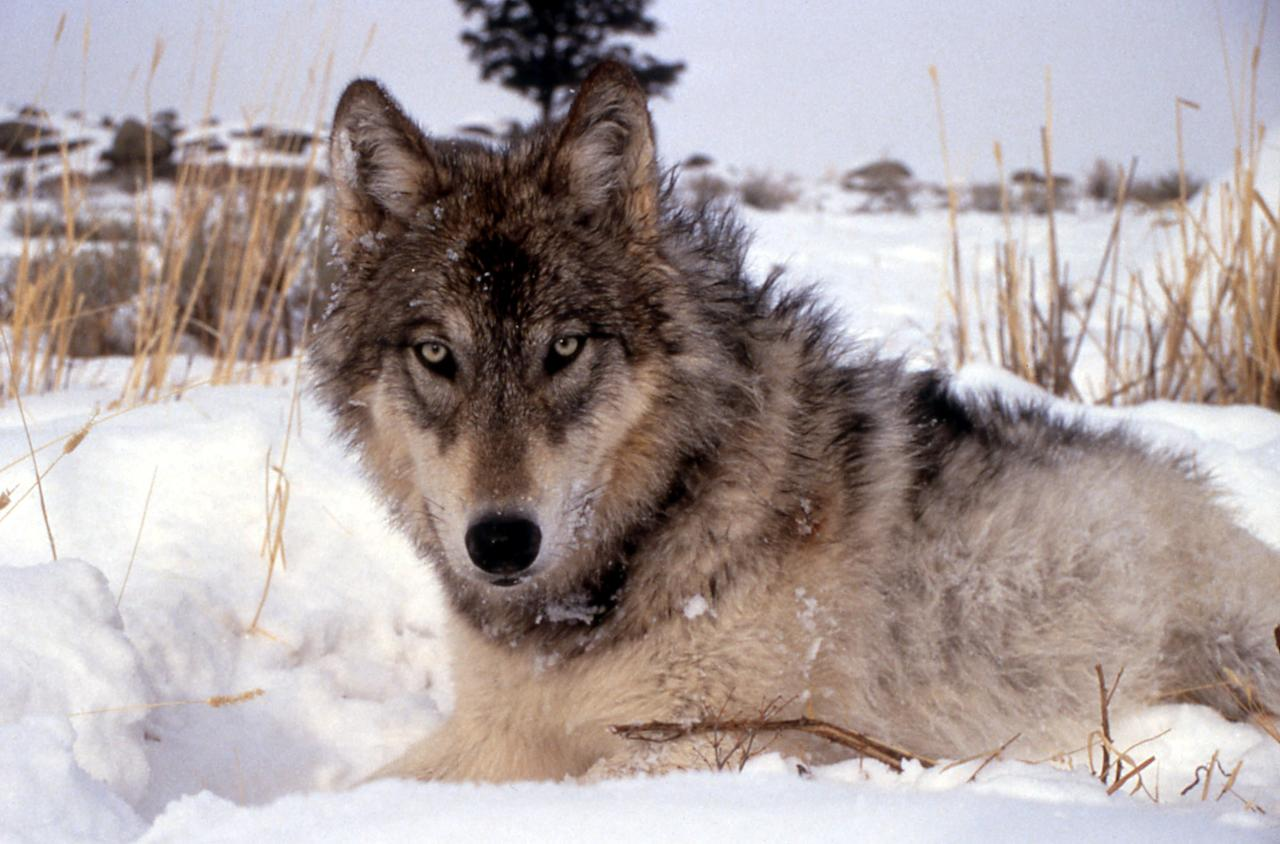 FILE - This undated image provided by the National Park Service shows a gray wolf in the wild. Western ranchers say they're hopeful the removal of gray wolves from the federal endangered species list will make it easier to hunt the predators and stem losses of cattle and sheep.