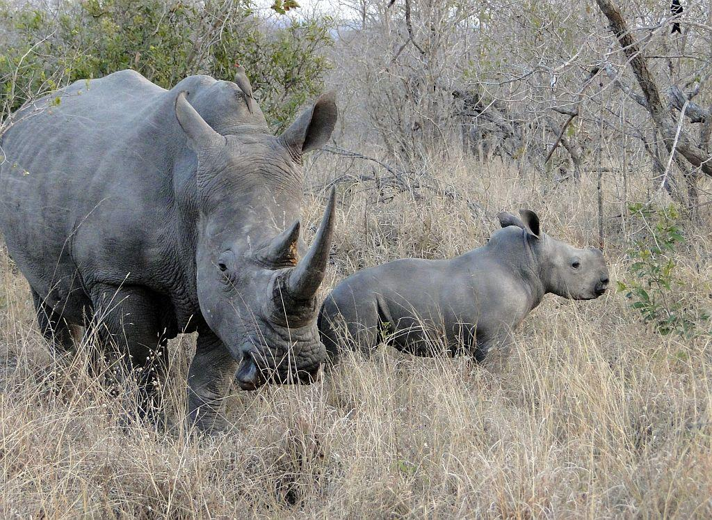 A white rhino and calf in the Sabi Sands Game Reserve, which is part of the greater Kruger National Park.