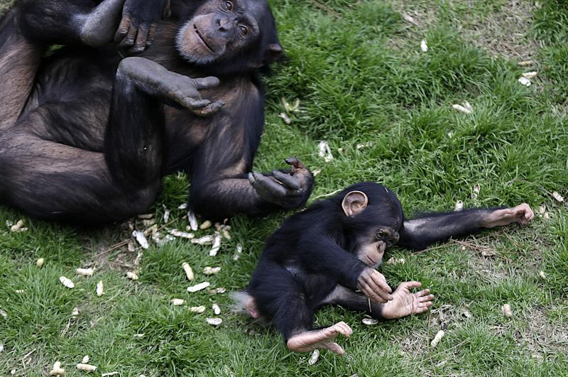 New digs: Federal research chimps savor retirement