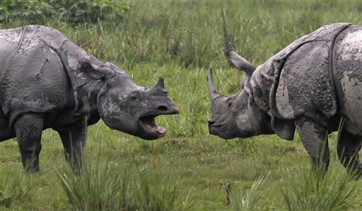 A male, right, and a female one- horned rhinoceros face each other at the Pobitora wildlife sanctuary, about 55 kilometers east of Gauhati, India, Saturday, May 19, 2012. Pobitora has the highest density of rhino population in the world. (AP Photo/Anupam Nath)