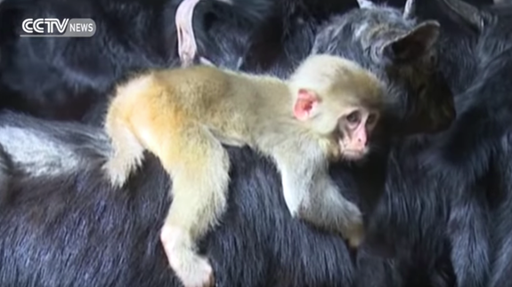 Baby monkey adopts herd of goats in China