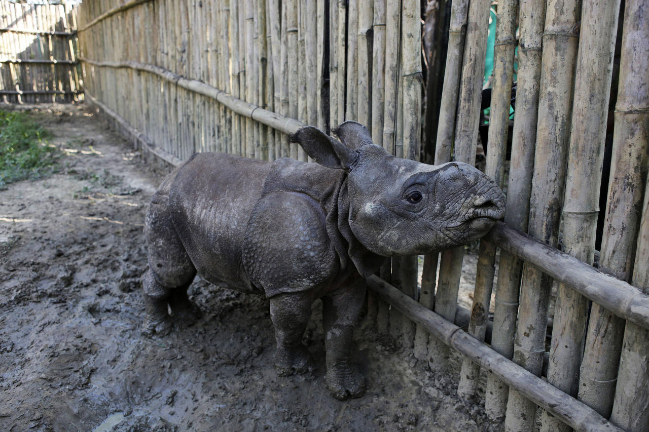 "In this Sunday, Dec. 2, 2012 photo, a two-and-half months old male orphan one-horned rhinoceros calf rescued during recent floods walks at a rehabilitation center inside the Kaziranga National Park, a wildlife reserve that provides refuge to more than 2,200 endangered Indian one-horned rhinoceros, in the northeastern Indian state of Assam. Even in this well protected reserve, where rangers follow shoot-to-kill orders, poachers are laying siege to ""Fortress Kaziranga,"" attempting to sheer off the animals' horns to supply a surge in demand for purported medicine in China that's pricier than gold. A number of guards have been killed along with 108 poachers since 1985 while 507 rhino have perished by gunfire, electrocution or spiked pits set by the poachers, according to the park. (AP Photo/Anupam Nath)"