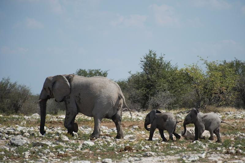 International Trade in Endangered Species: Zimbabwe, Namibia to push for ivory trade