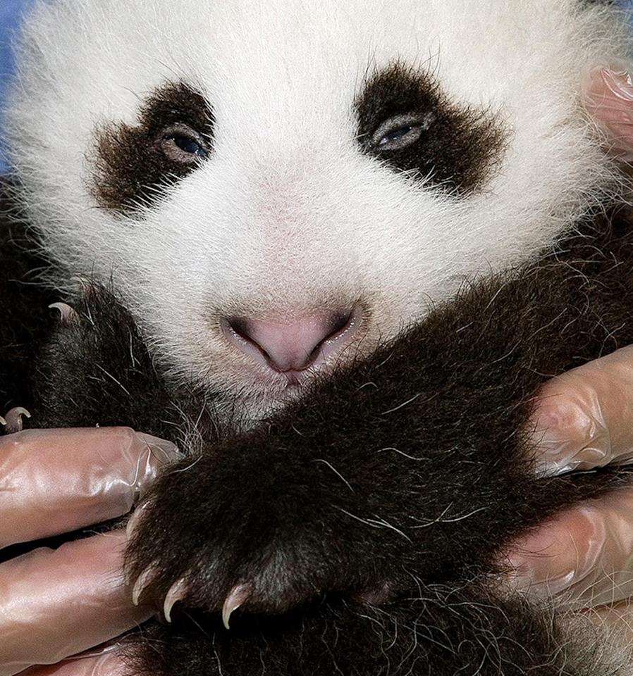 FILE - In this Sept. 20,2012 file photo provided by the San Diego Zoo, the panda cub at the San Diego Zoo is shown during his fifth veterinary exam. The male panda, born on July 29, 2012. The San Diego Zoo has announced that its 15-week-old giant panda has been named Xiao Liwu, which means Little Gift. The name was selected by the public, which voted on the zoo's website. (AP Photo/San Diego Zoo/Tammy Spratt,File)