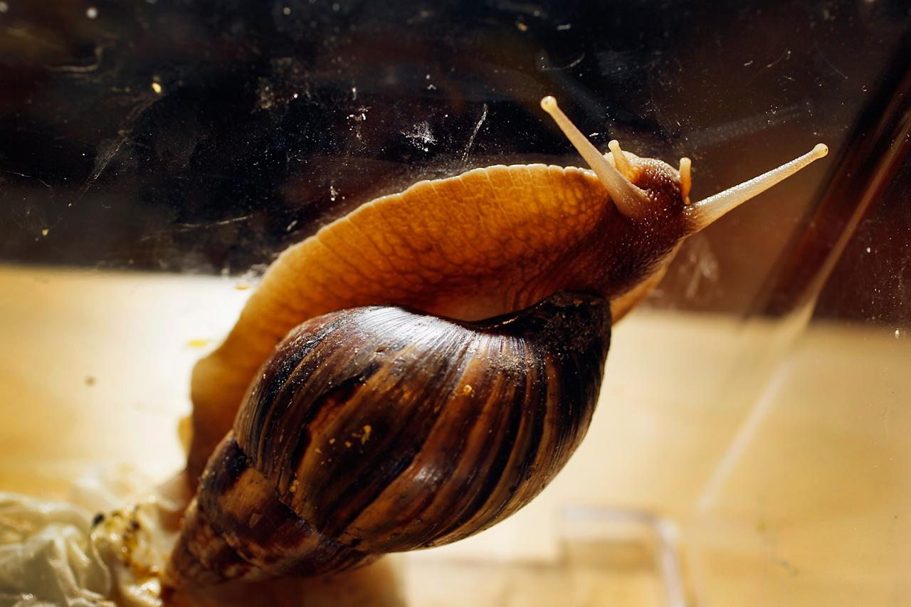 MIAMI, FL - SEPTEMBER 15:  A Giant African land snail is seen as the Florida Department of Agriculture and Consumer Services announces it has positively identified a population of the invasive species in Miami-Dade county on September 15, 2011 in Miami, Florida. The Giant African land snail is one of the most damaging snails in the world because they consume at least 500 different types of plants, can cause structural damage to plaster and stucco, and can carry a parasitic nematode that can lead to meningitis in humans. An effort to eradicate the snails is being launched. The snail is one of the largest land snails in the world, growing up to eight inches in length and more than four inches in diameter.  (Photo by Joe Raedle/Getty Images)
