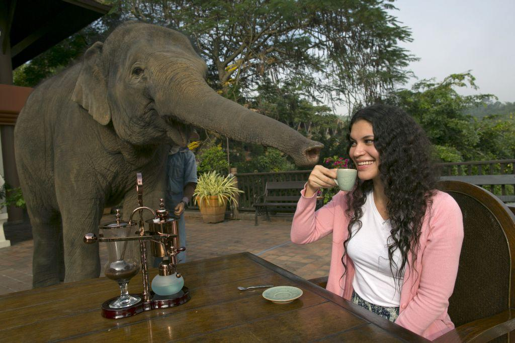 Miki Giles from Hong Kong tastes the Black Ivory Coffee at breakfast as Meena, a 6-year-old baby elephant, gets curious at the Anantara Golden Triangle resort in Golden Triangle, northern Thailand. Black Ivory Coffee, started by Canadian coffee expert Blake Dinkin, is made from Thai arabica hand-picked beans. Coffee beans are naturally refined by a Thai elephant. It takes about 15-30 hours for the elephant to digest the beans, and later they are plucked from their dung and washed and roasted. Approximately 10,000 beans are picked to produce 1 kg of roasted coffee. At USD 1,100 per kilogram or USD 500 per pound, the cost per serving of the elephant coffee equals USD 50, making the exotic new brew the world's priciest. It takes 33 kilograms of raw coffee cherries to produce 1 kilo of Black Ivory Coffee.