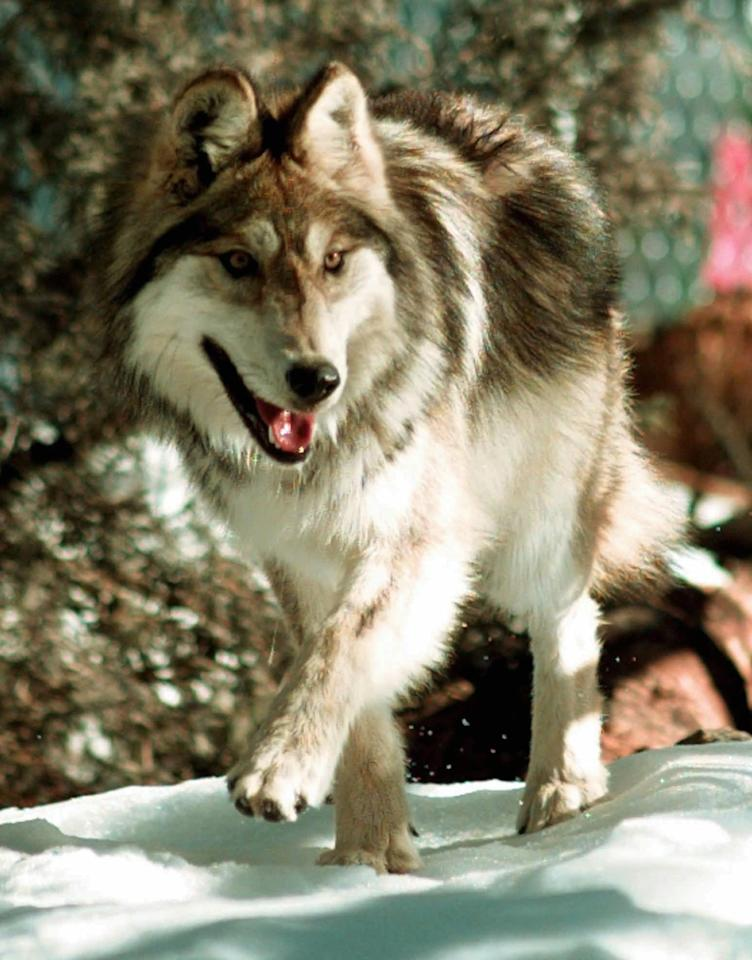 FILE A Mexican gray wolf moves through his new home after being released from a cage in Hannagan Meadows, Ariz., in this Jan. 26, 1998, file photo. Unlike some major wildfires that inflict a serious human toll, perhaps the biggest impact from the largest wildfire in Arizona history will fall squarely on an ecosystem that's home to numerous endangered species. (AP Photo/Jeff Robbins)