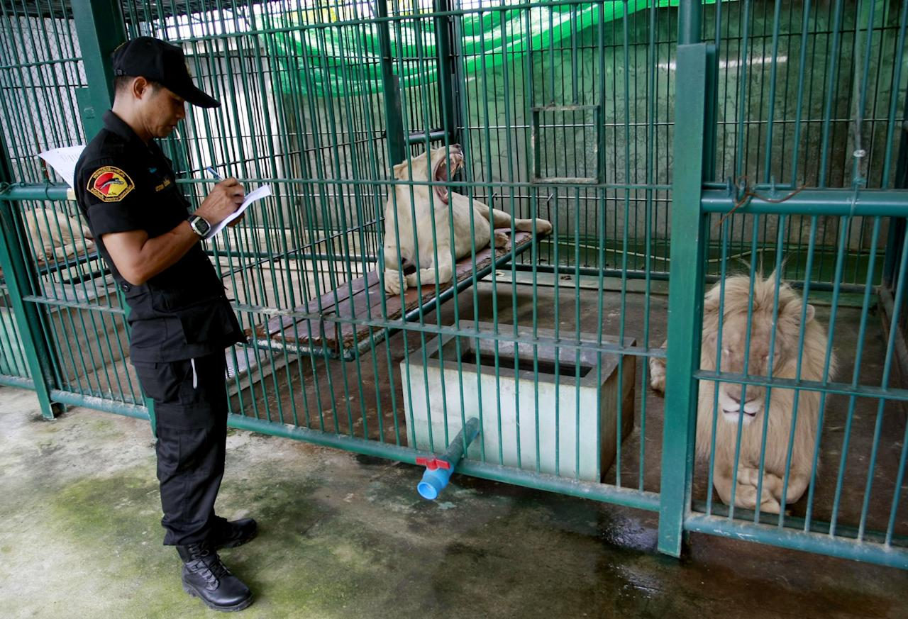A Thai forestry official takes a note as he examines lions in the enclosure at a zoo-like house on the outskirts of Bangkok, Thailand Monday, June 10, 2013. Thai police and forestry officials searched and seized a number of imported and endangered animals including 14 lions from Africa and arrested the house's owner. (AP Photo/Apichart Weerawong)