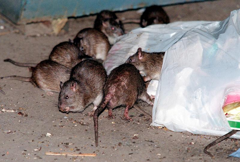 Rat tales abound in NYC after Superstorm Sandy