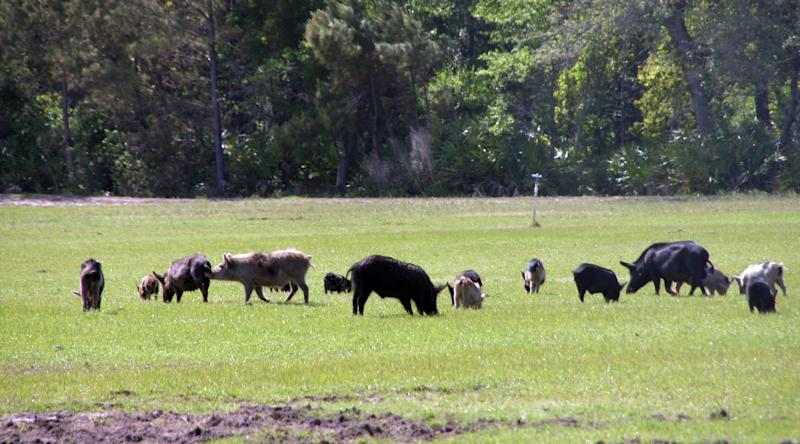 $1M pilot project aims to take out feral pigs