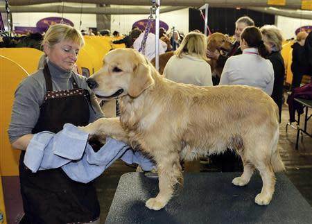 Nautilus, a Golden Retriever, gets dried after a bath by handler Diana Mason during the 138th Westminster Kennel Club Dog Show in New York