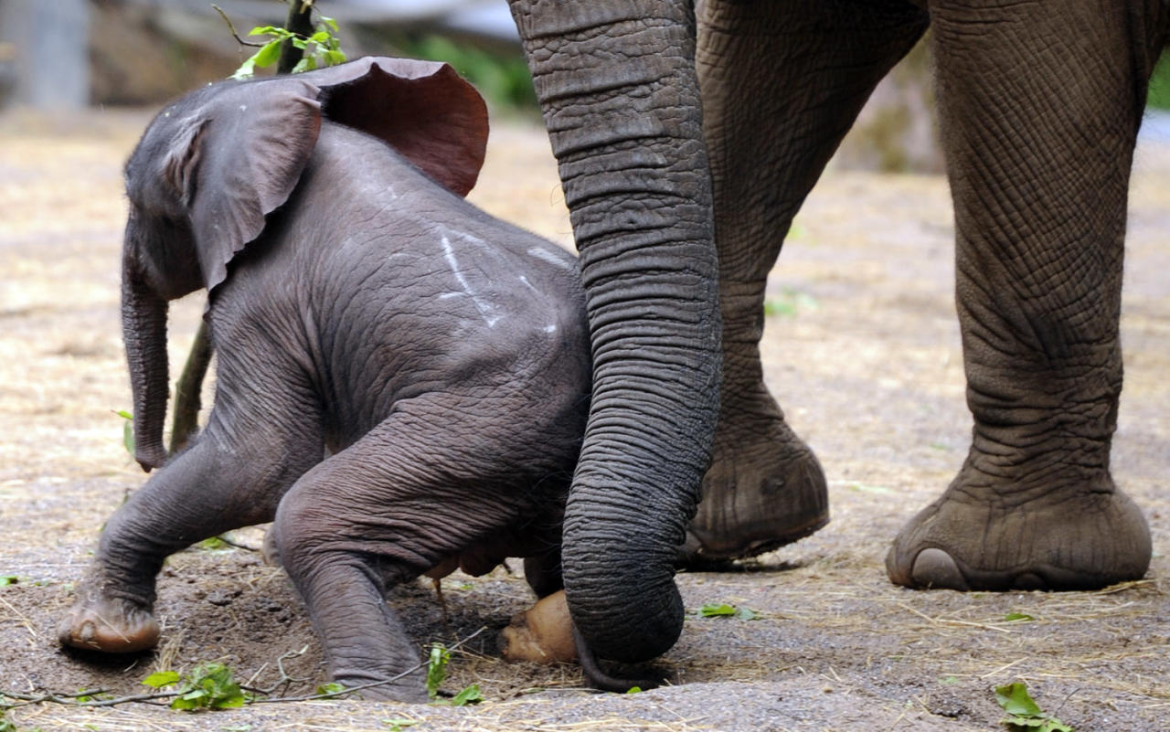 "Baby elephant ""Moyo"" is helped up by his mother ""Sabie"" during his first outing at the zoo in Wuppertal, western Germany, on May 15, 2013. ""Moyo"" was born on May 13, 2013 at the zoo.      AFP PHOTO / MARIUS BECKER"