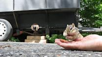 Adorable chipmunk stuffs cheeks with almonds
