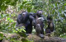 Chimps varied &Number 39 culture&Number 39 matters for conservation, study