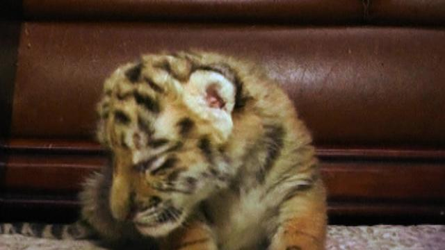 Tiger Cubs Play With Lion Cubs