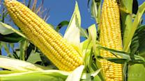 Corn 'bull market' has slow-footed traders bracing for pain